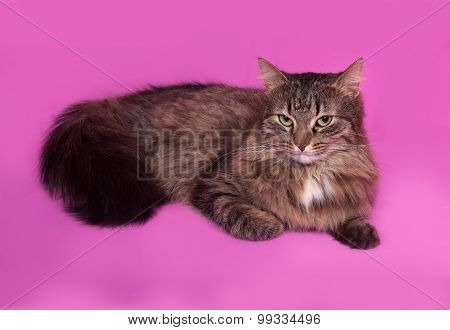 Fluffy Gray And White Cat Lying On Pink