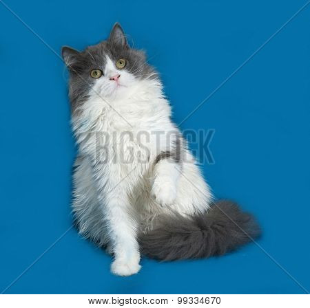 Fluffy Gray And White Kitten Sitting On Blue