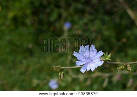 Pale Blue Chicory Flower With Copy Space