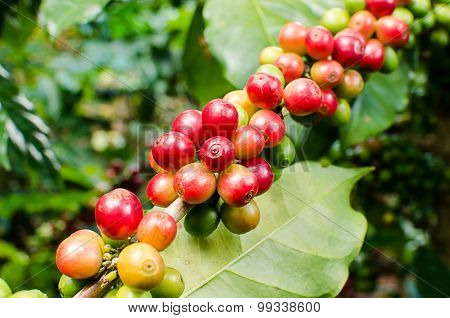 arabica coffee berries on branch