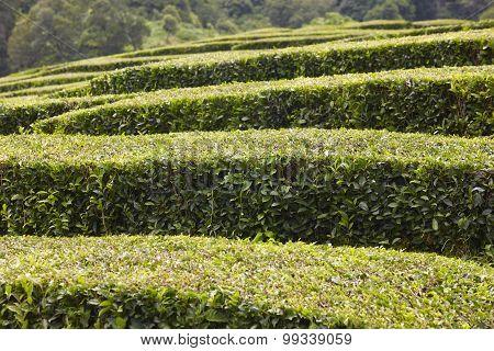 Traditional Tea Plantation In Sao Miguel, Azores. Portugal