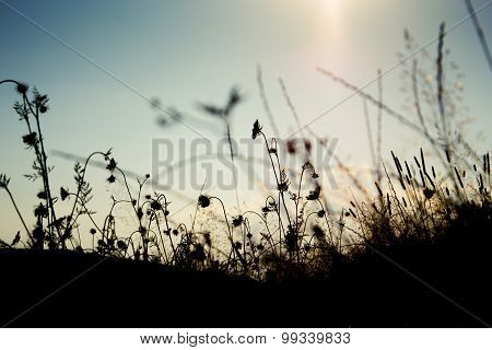 Grass Silhouette In The Sunset