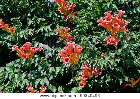 Flowers Campsis