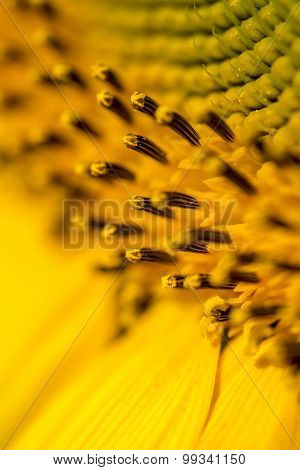 Closeup Of Beautiful Yellow Sunflower Stamens, Pistils And Pollens