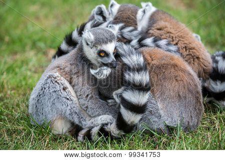Ringtail Lemur