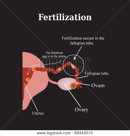 Fertilization. Vector illustration on a black background