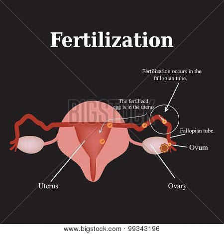 Diagram of the structure of the pelvic organs. Fertilization. Vector illustration on a black backgro
