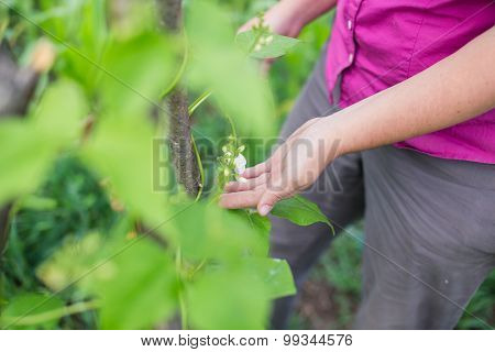 Blossom On Pole Bean Plants In A Garden
