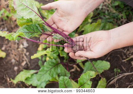 Young Beetroot Plant In Farmer's Hands