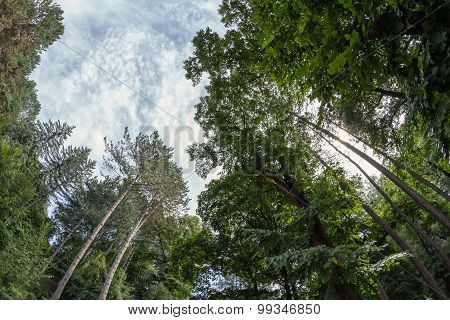 Pine Forest Of Tall Ship Pines