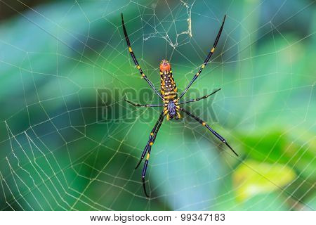 Large Tropical Spider - Nephila (golden Orb)