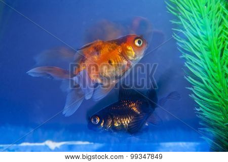 Black And Gold Fish