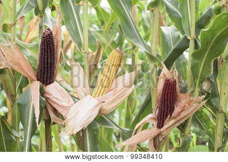 Ripe Corn - Part Of The Plant