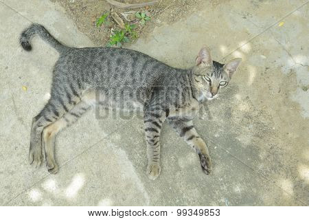 Thai Cat On The Floor