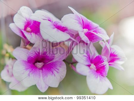 Beautiful Purple And White Color Of Orchid Flowers.