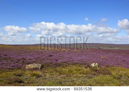 Flowering Heather Moorland