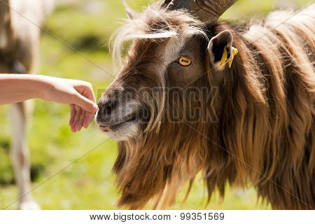 Mountain Male Goat And Human Hand