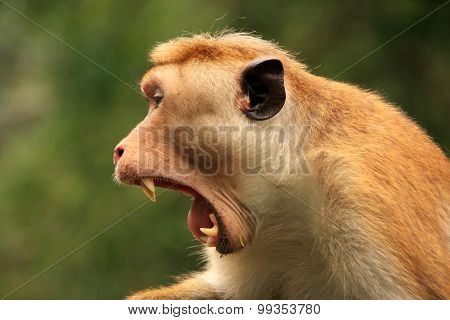 Portrait Of Toque Macaque Yawning, Cave Temple In Dambulla, Sri Lanka. Toque Macaques Live Only In S