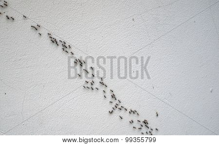 Overhead View Of The Chain Of Ants