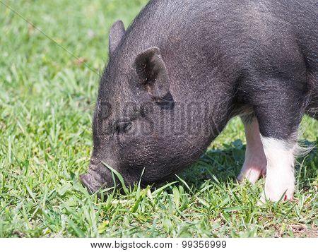 Black mini pig on pasture