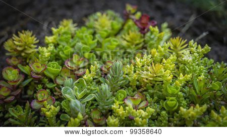 Close-up of a newly planted sedum plant