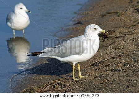 Two common Seagulls standing along shore line of sandy beach