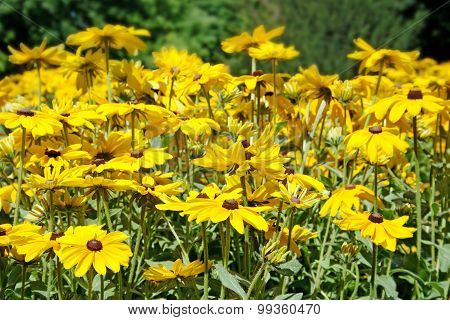 Bright Flowers Rudbeckia