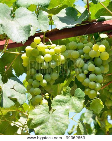 Fresh Green Grapes On Vine Branch