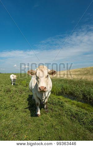 Curiously Looking White Cow In A Sunny Meadow