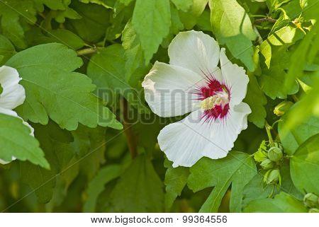Delicate White Hibiscus Flower
