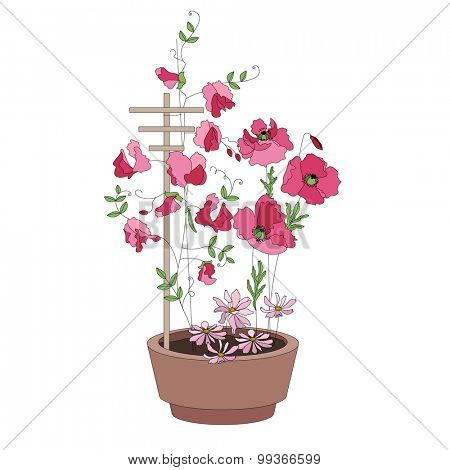 Flower pots with flowers - sweat peas. Plants growing on window sills and balcony