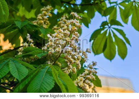 Blooming Chestnut Flowers