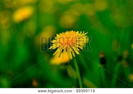 Dandelion Flower In Front Of Blured Saturated Green Background