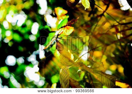 Yellow And Green Chestnut Leaves Growing On The Tree