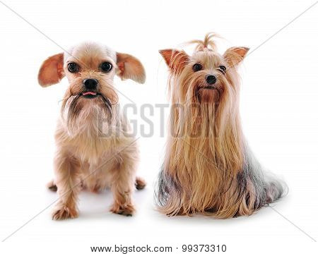 Shih Tzu Dog And Yorkie In Studio On A White Background