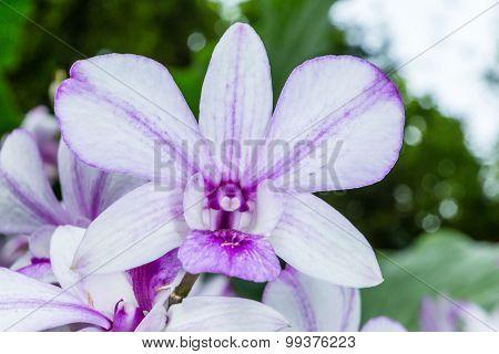 Dendrobium Hiang Beauty