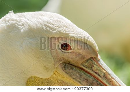 Pelican Eye Close