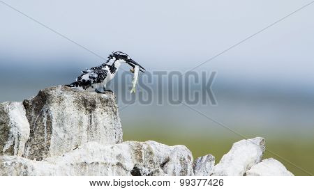 Pied Kingfisher In Pottuvil, Sri Lanka