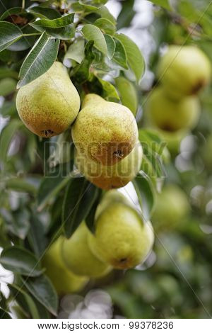 Pear Fruits On Tree
