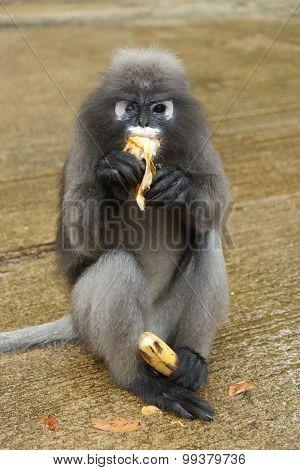 Leaf Monkey
