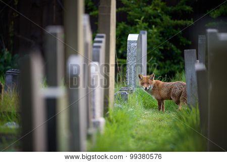Fox and gravestones
