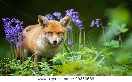 Red fox looking at the camera