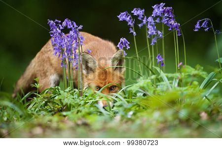 Fox and bluebells