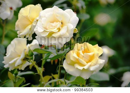 Rose Pale Yellow Rose Garden In The Park Of Schönbrunn (austria)
