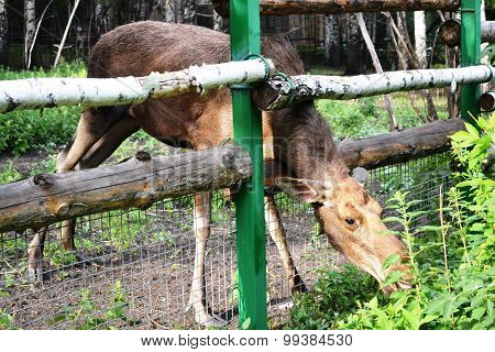Elk stuck her head through the fence enclosure and eating nettles at the zoo. Penza. Russia