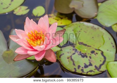 pink lotus flower with the leaf
