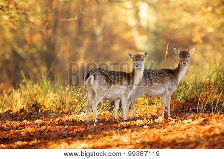 two fallow deer