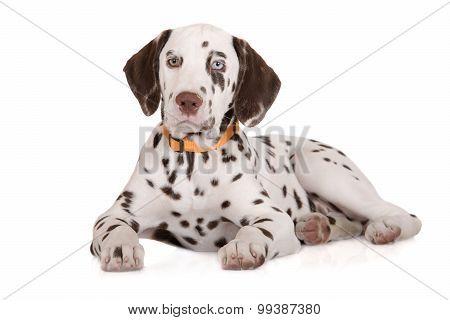 adorable brown dalmatian puppy