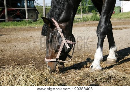 Saddle Horse Eating Hay In The Corral Summertime Outdoor Rural Scene
