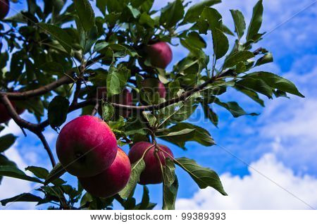 Closeup of a red apple on a tree at orchard